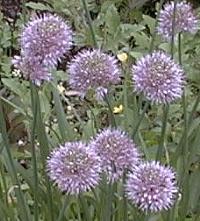 Allium%20gubanovii.jpg