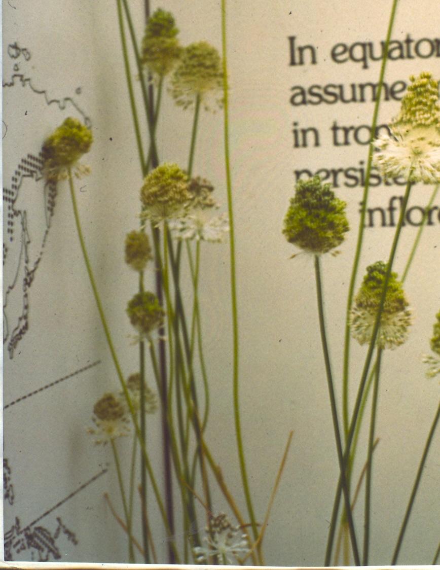 Allium%20guttatum.jpg