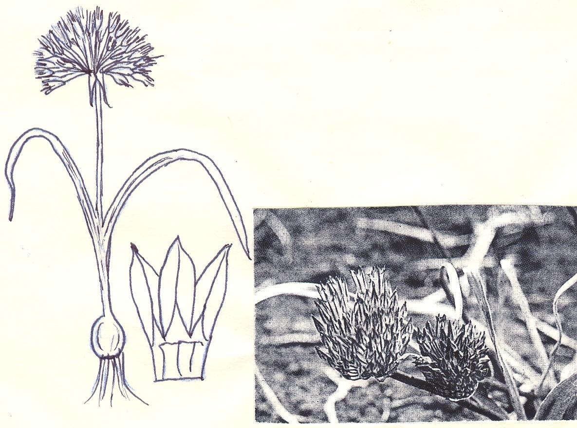 Allium%20gypsaceum.jpg