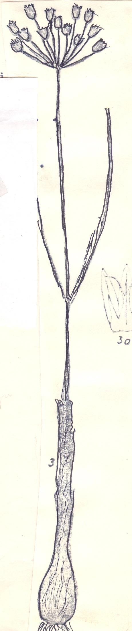 Allium%20gypsodictyum.jpg