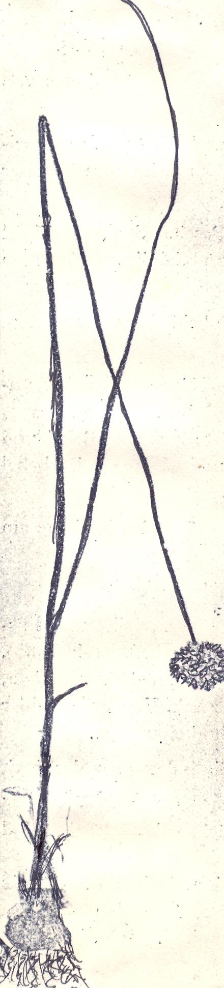 Allium%20hamrinense.jpg