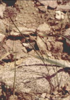 Allium%20haneltii.jpg