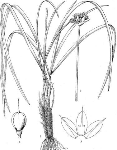 Allium%20henryi.jpg