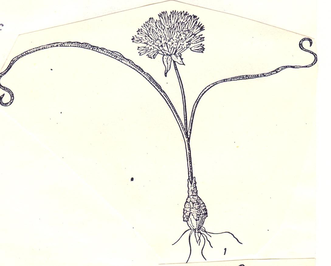 Allium%20hexaceras.jpg