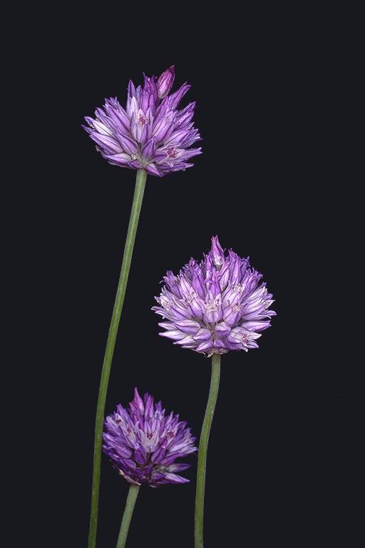 Allium%20hierochuntinum.jpg