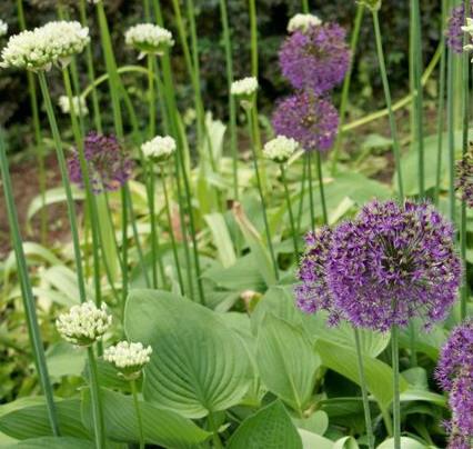 Allium%20hindukushense.jpg