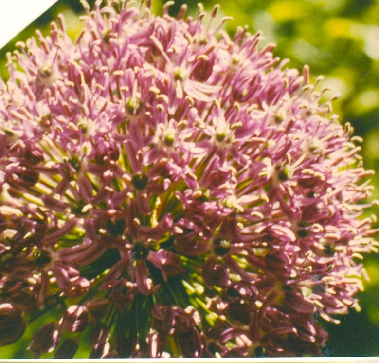 Allium%20hirtifolium.jpg