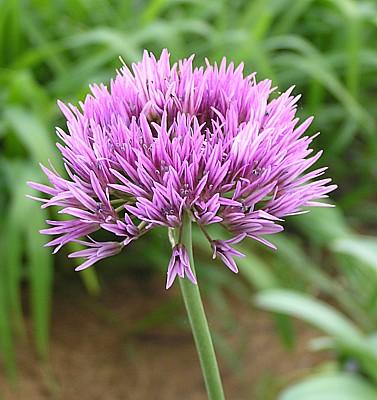 Allium%20hissaricum.jpg