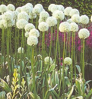 Allium%20hookeri.jpg