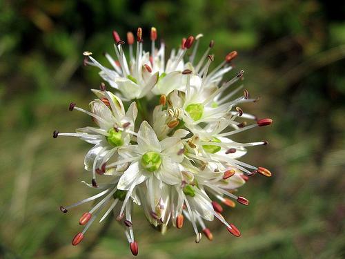 Allium%20horvatii.jpg