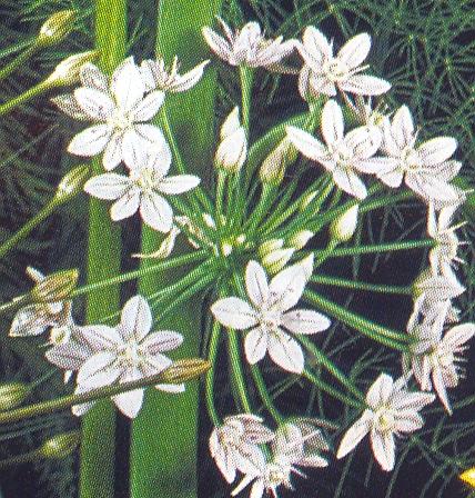 Allium%20hyalinum.jpg