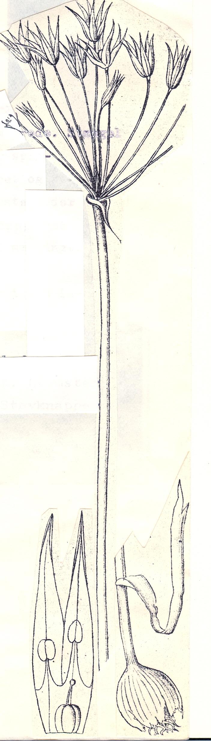 Allium%20iliense.jpg