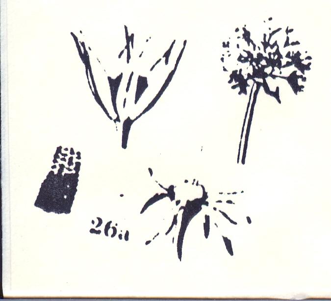 Allium%20incisum.jpg
