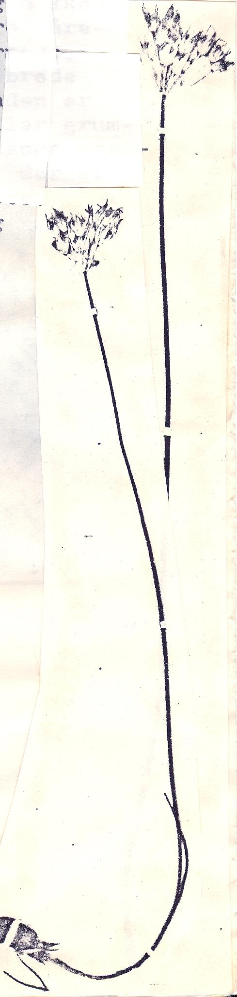 Allium%20inconspicuum.jpg