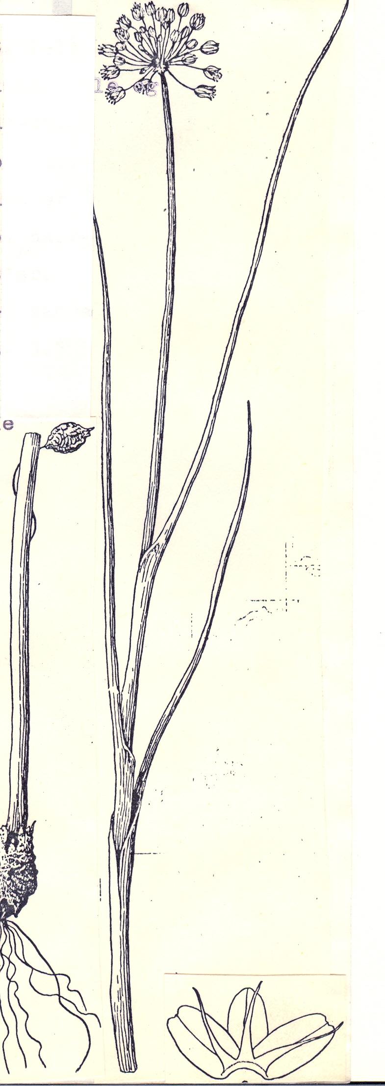 Allium%20incrustatum.jpg
