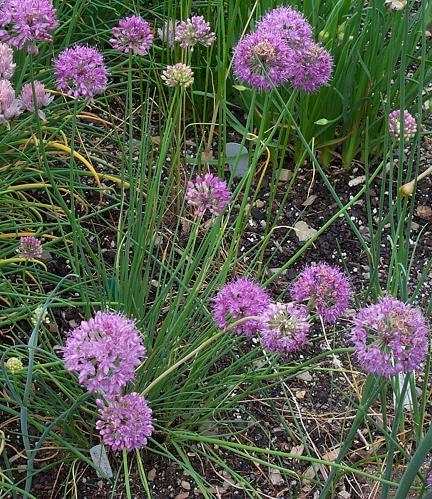 Allium%20inderiense.jpg