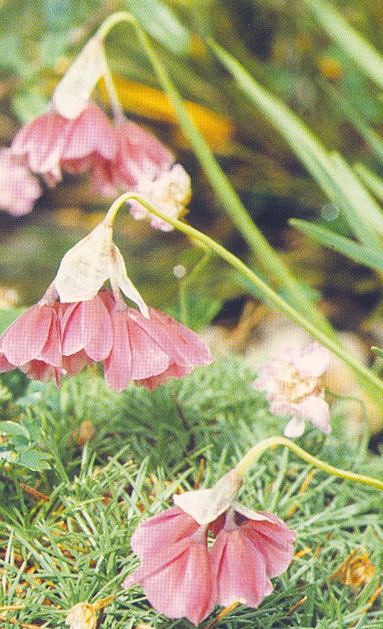 Allium%20insubricum.jpg