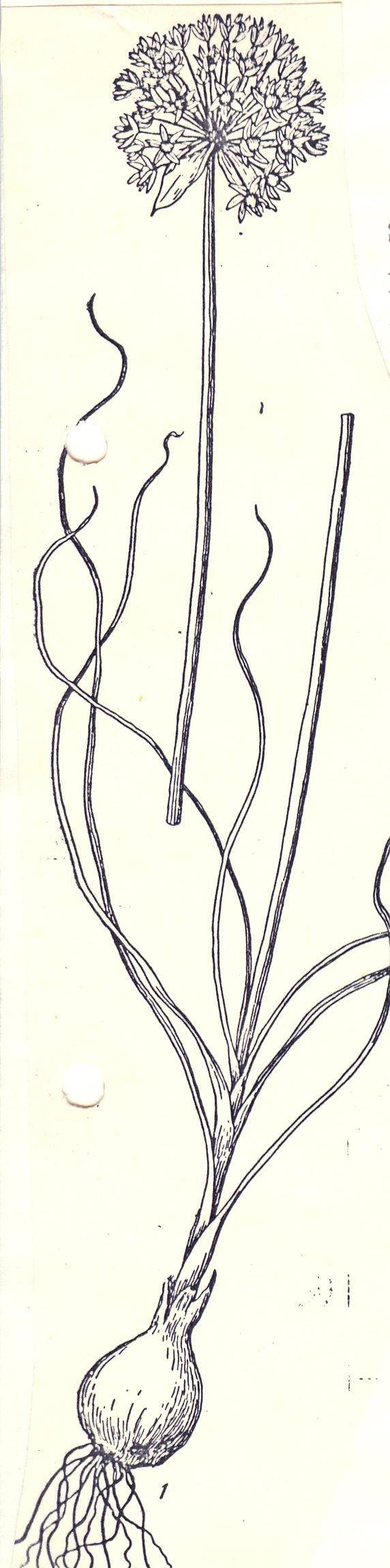 Allium%20insufficiens.jpg