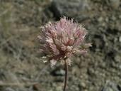 Allium%20intactum.jpg