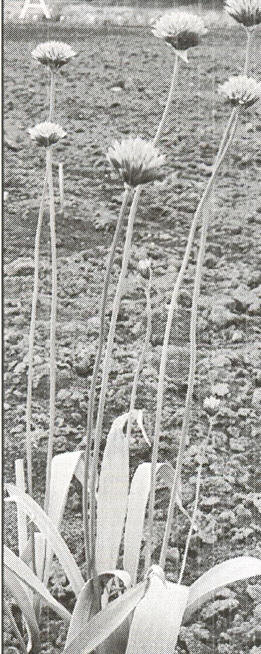 Allium%20intradarvazicum.jpg