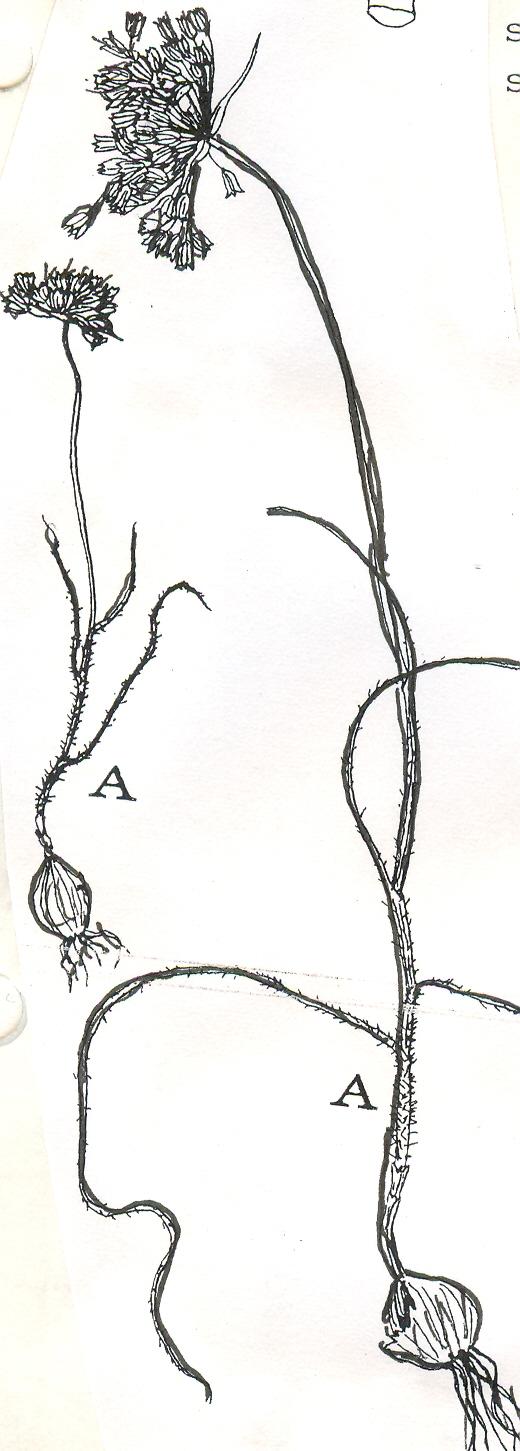 Allium%20ionicum.jpg