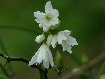 Allium%20isauricum.jpg