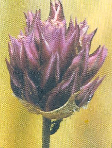 Allium%20junceumh.jpg