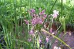 Allium%20kachrooi.jpg