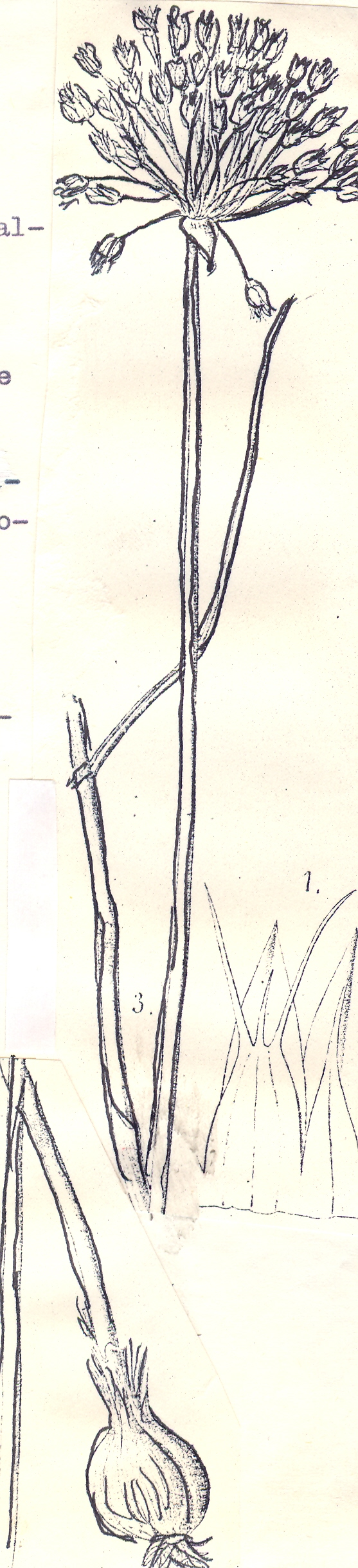 Allium%20karakense.jpg