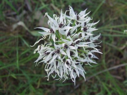 Allium%20karamanoglui.jpg