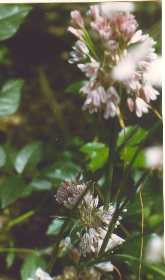 Allium%20karsianum.jpg