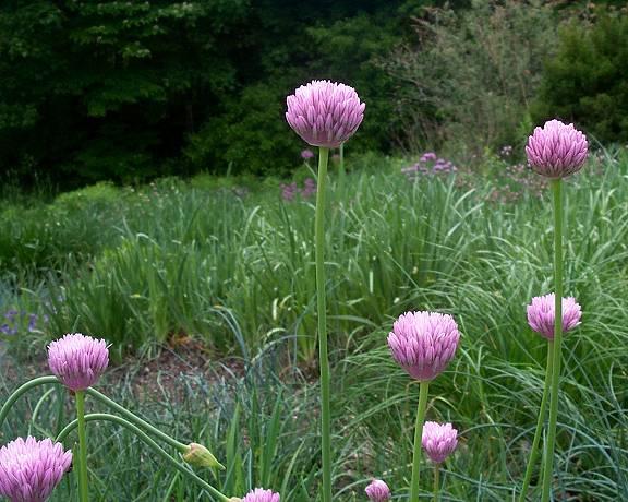 Allium%20kasteki.jpg