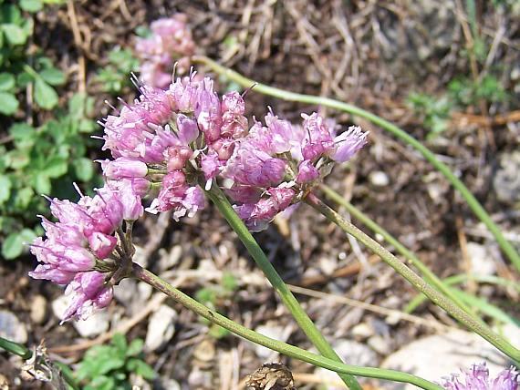 Allium%20kermesinum.jpg