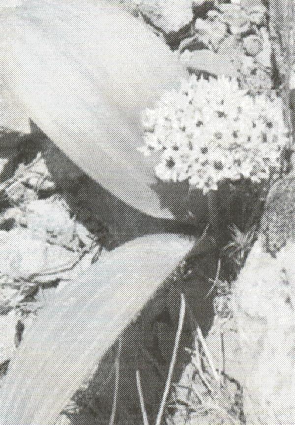 Allium%20keusgenii.jpg