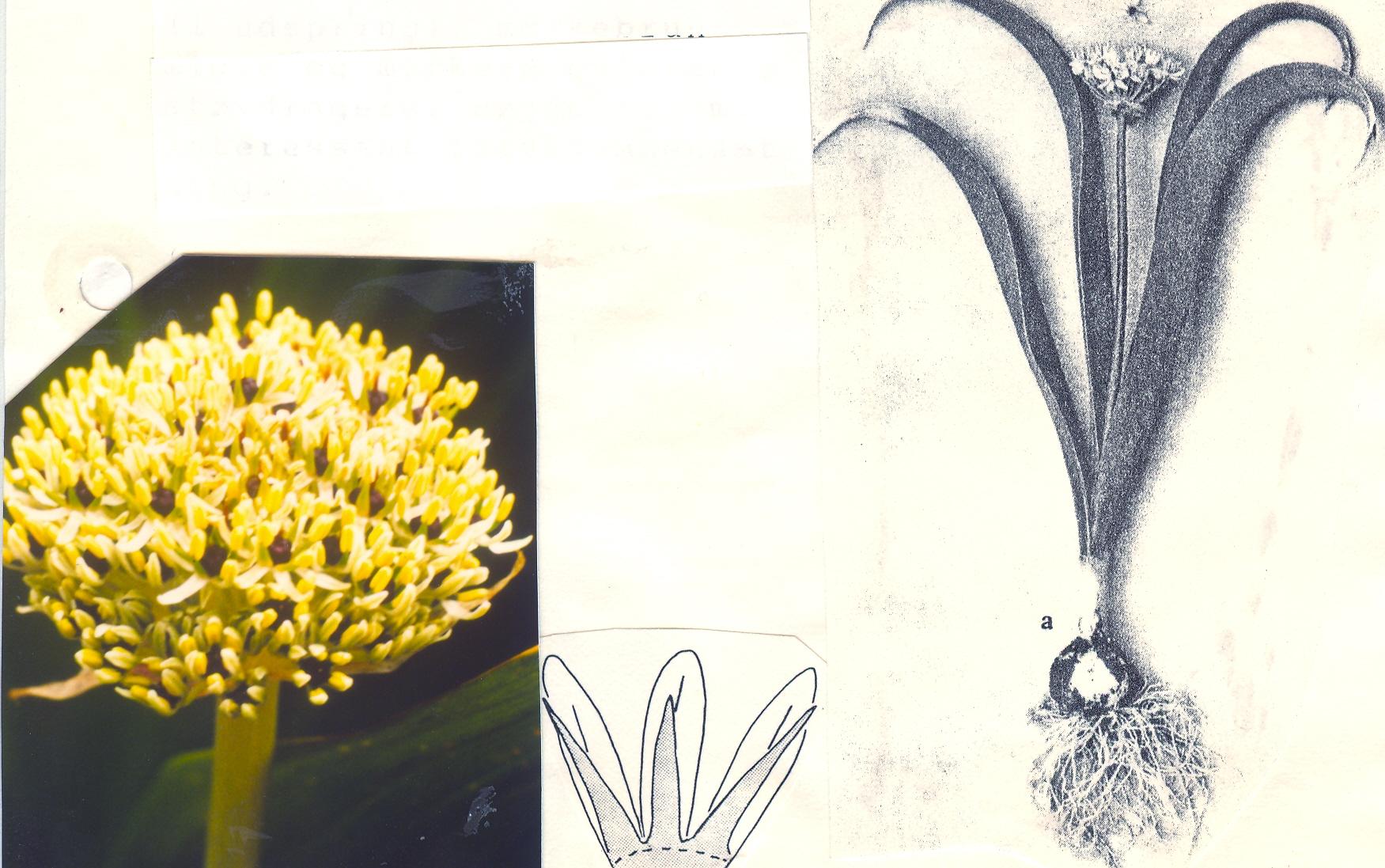 Allium%20kharputense.jpg