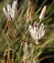 Allium%20kirindicum.jpg
