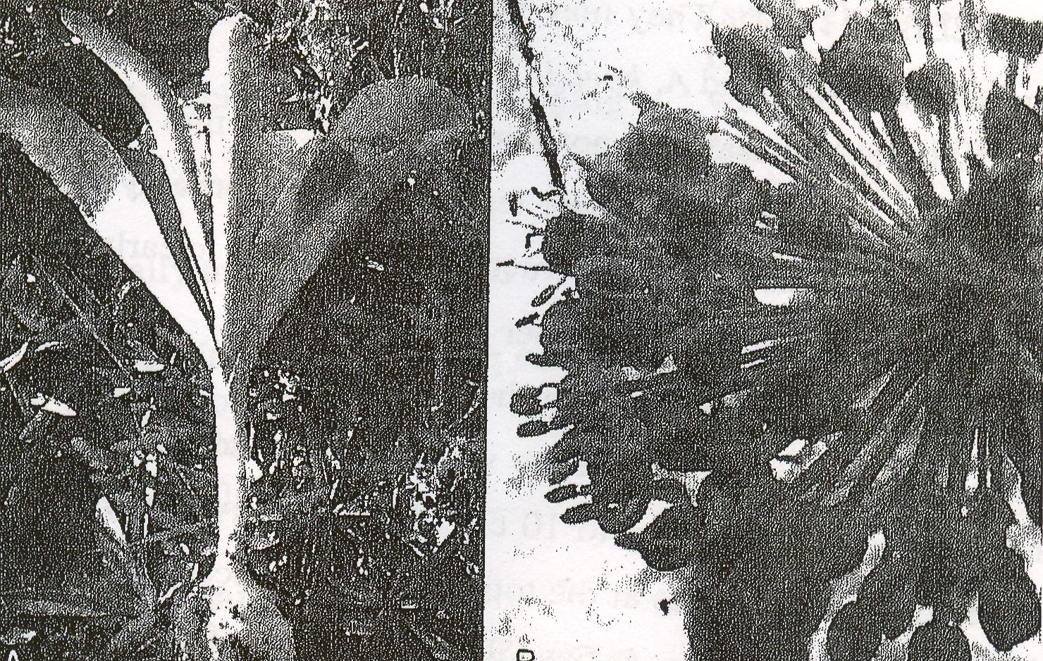 Allium%20koelzii.jpg