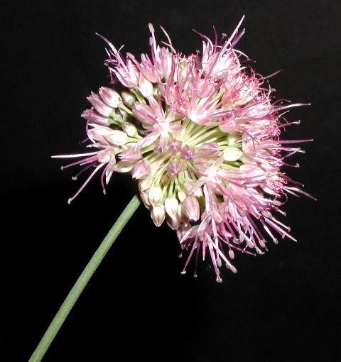Allium%20kokanicum.jpg