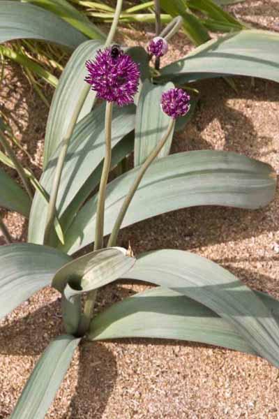 Allium%20komarowii.jpg