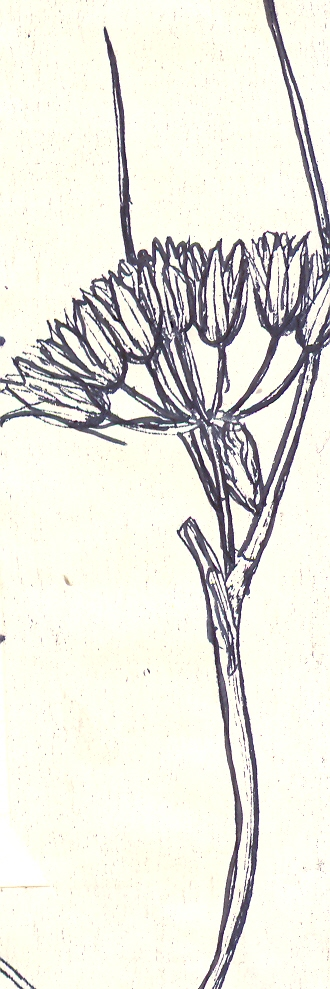 Allium%20kopetdagense.jpg