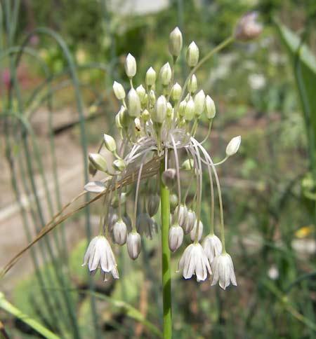 Allium%20kunthianum.jpg