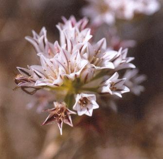 Allium%20lacunosum%20v%20lacunosum.jpg