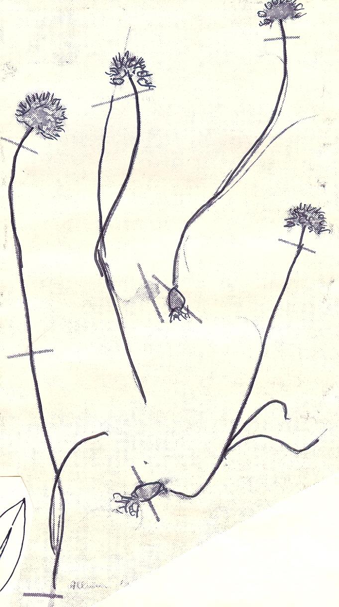 Allium%20lamondiae.jpg