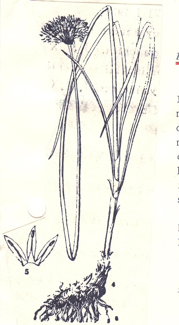 Allium%20lancipetalum.jpg
