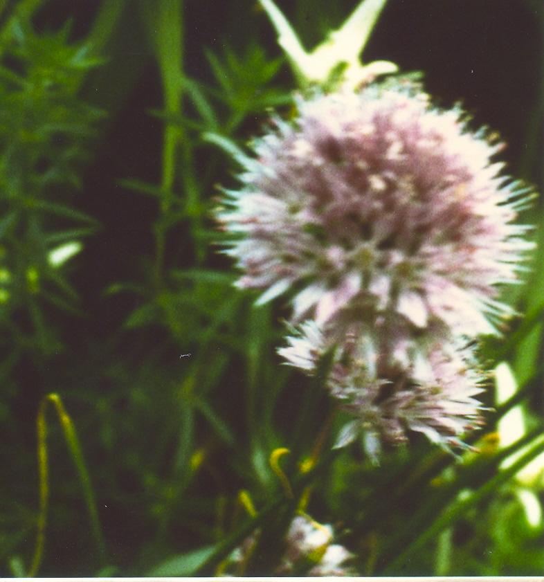 Allium%20ledebourianum.jpg