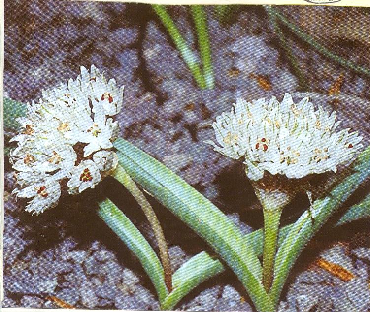 Allium%20libani.jpg