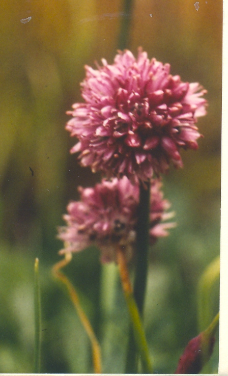 Allium%20lineare.jpg