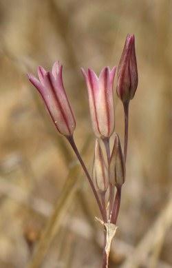 Allium%20lojaconoi.jpg