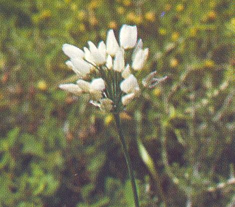 Allium%20longanum.jpg