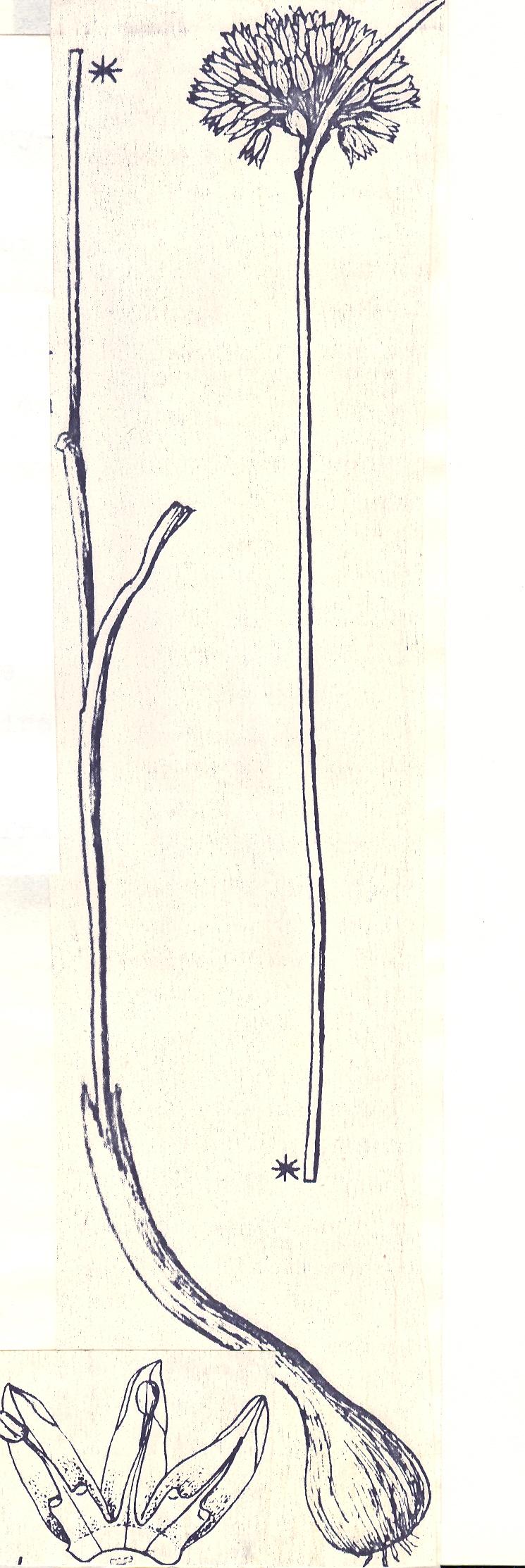 Allium%20longevaginatum.jpg